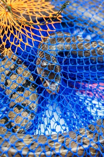 Snakes in a blue net at a market in Vientiane, Laos