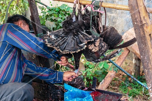 A man slaughtering a turkey at a market in Vientiane, Laos