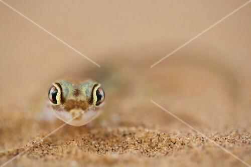Namib gecko in the desert sand, Africa