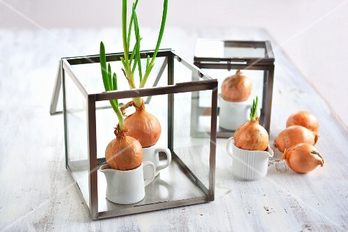 Chives sprouting from onions with no soil just a container of water