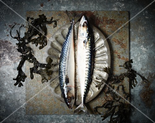 Two fresh mackerel on a pewter plate