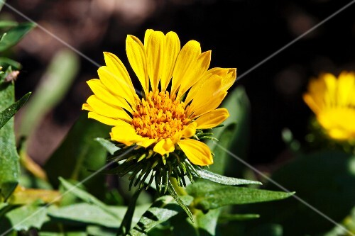 Curly-top gumweed