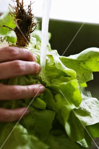 A hand washing a butterhead lettuce