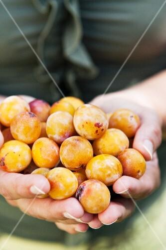 Hands holding mirabelles