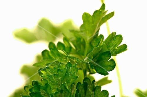 Parsley with droplets of water (close-up)