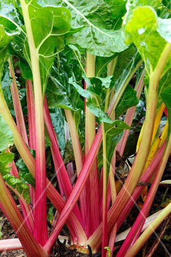 Red chard in a garden