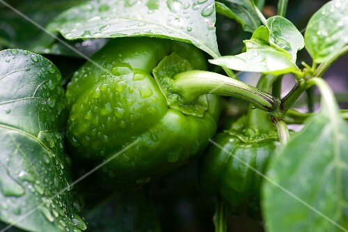Green pepper on plant