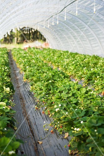 Strawberries in greenhouse