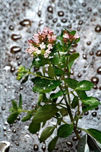 Flowering oregano