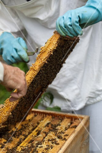A bee-keeper with honeycombs
