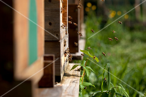 Bees flying to a bee hive
