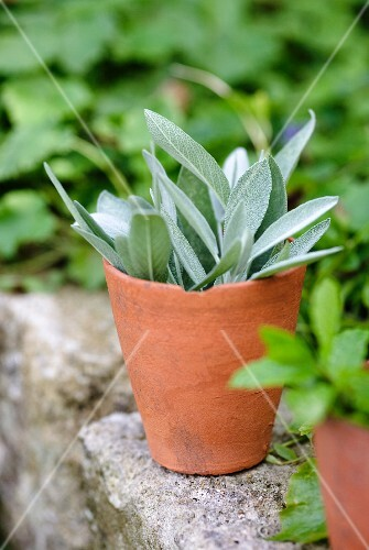 Sage in terracotta pot