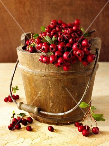 Fresh hawthorn berries in a wooden bucket