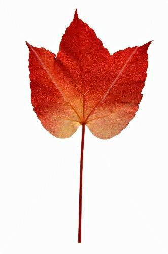 A Virginia Creeper leaf