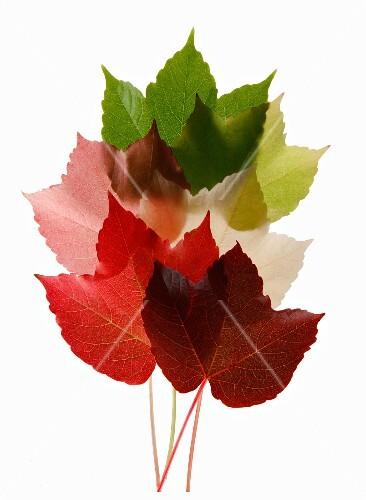 Colorful Virginia Creeper leaves