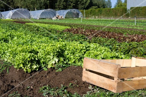 A crate in a salad field