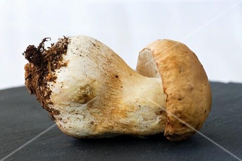 A fresh porccini mushroom