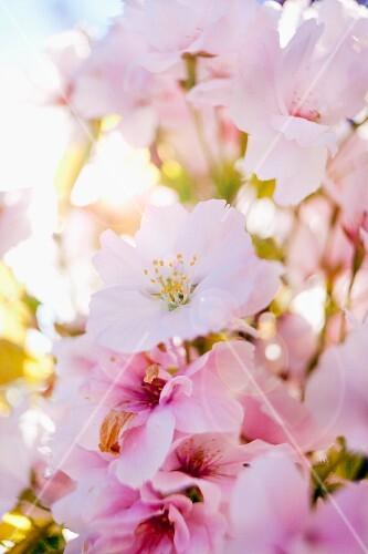 Cherry blossom (close-up)