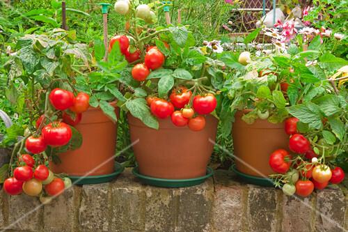 Tomato plants in pots in a garden