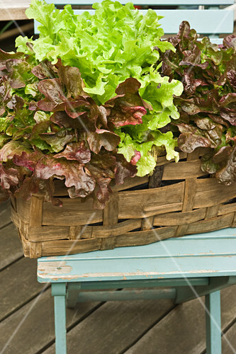Lettuce growing in a plant basket on a terrace