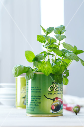 Fresh basil in a printed olive tin