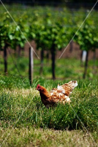 A free range hen in a vineyard