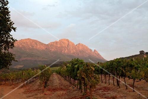 Muratie Estate vineyard, Stellenbosch, South Africa
