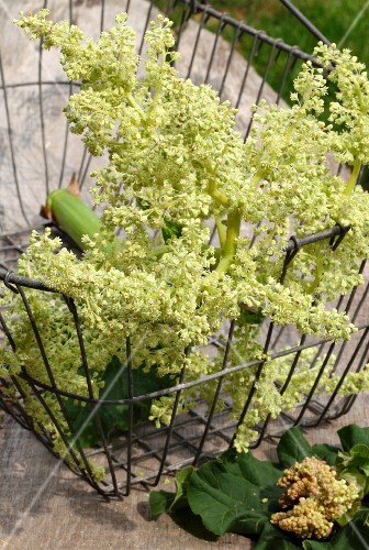 Rhubarb flowers in a wire basket