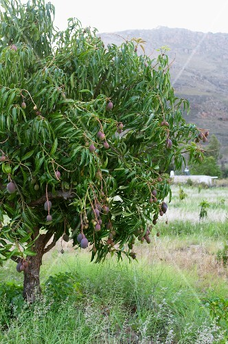 Fruit on a mango tree (South Africa)