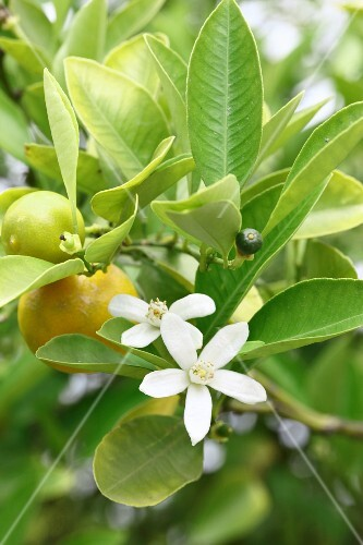 A citrus sprig with flowers and fruits