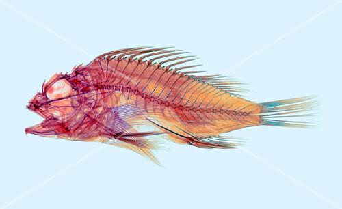 Fish,X-ray
