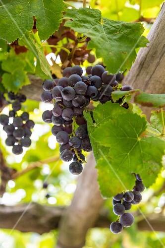 Red wine grapes, Amalfi coast, Italy