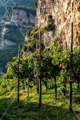 Grape cultivation, Amalfi coast, Italy