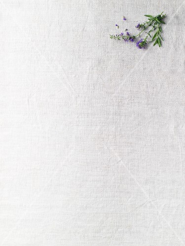 Hyssop sprig with flowers on a white surface