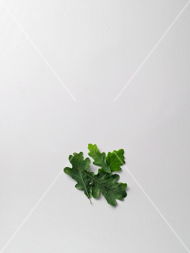 Fresh oak leaves