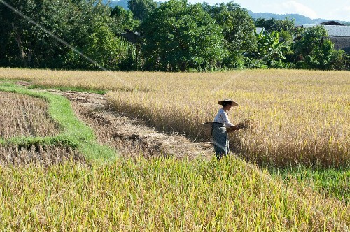A woman in a rice paddy harvesting rice (Myanmar, Burma)