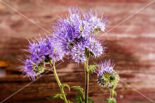 Flowering phacelia
