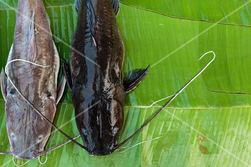 Two catfish from the Mekong on a banana leaf, Luang Prabang, Laos