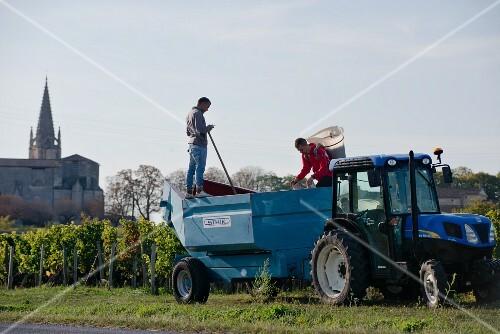 Grapes being harvested near Saint- Emilion, Bordeaux, France