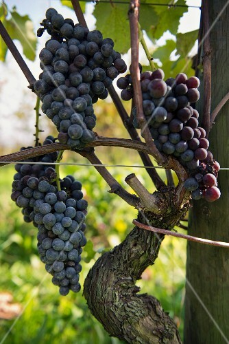Three bunches of Nebbiolo grapes on a vine