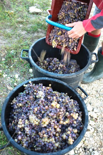 Grapes being harvested at Chateau Lafaurey Peyrageuy