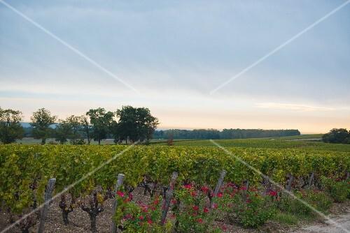 Chateau D'Yquem, grape harvest