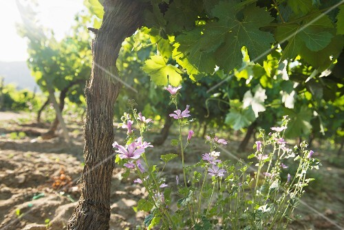 Casal de Arman winery, mallow flowers growing beneath a vine