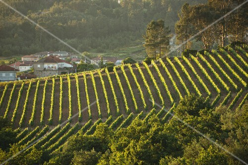 Casal de Arman vineyard with vines at dusk