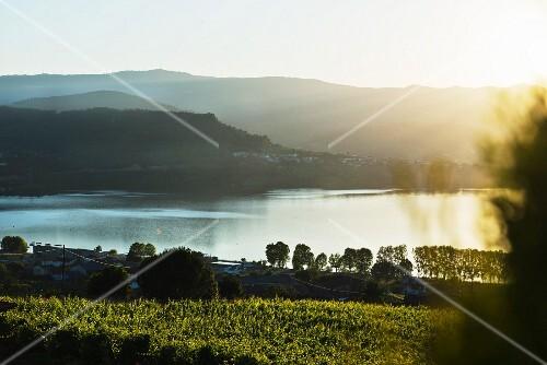 Vines on the Eduardo Peña vineyard