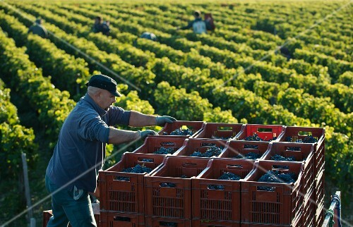 Grapes being harvested at Chateau Lascombes, Bordeaux, France