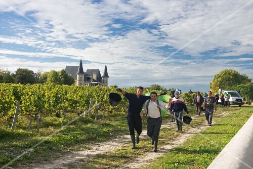 Harvest time at Château Pichon-Longueville-Baron, Bordeaux, France