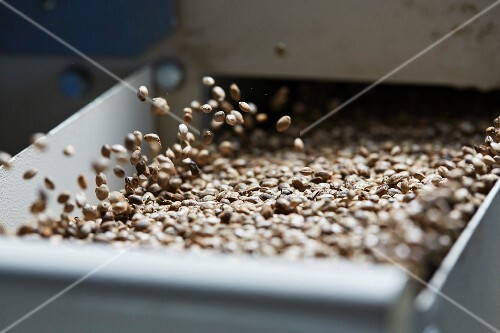 Hemp seeds in a cleaning machine at an oil mill