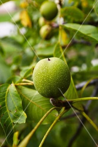 A green walnut on a tree