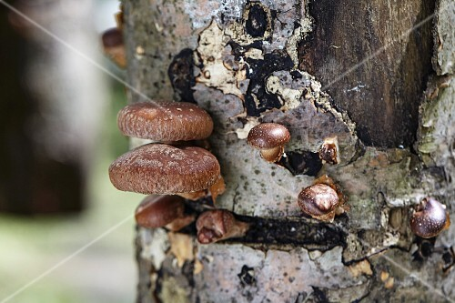 Shiitake mushrooms growing on a tree trunk (Lentinula Edodes)